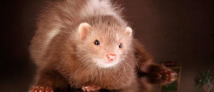купить хорька, питомник happy ferret